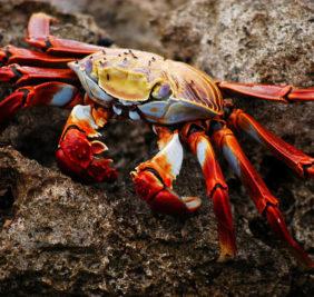 equateurgalapagos_crabe